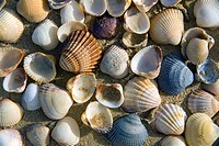 Mollusc shells  Somo beach  Somo, Ribamontan al Mar, Trasmiera County, Cantabria, Spain, Europe