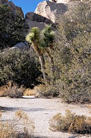 SCENE IN JOSHUA TREE NATIONAL PARK CALIFORNIA WITH JOSHUA TREES YUCCA BREVIFOLIA