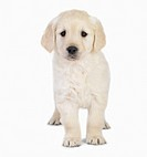 Portrait of a blond young puppy standing Isolated on white