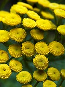 TANECETUM VULGARE TANSY PERENNIAL HERB