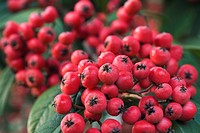 COTONEASTER X WATERERI HARDY SMALL TREE