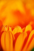 An orange pot marigold flower