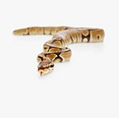 Ball python with its tongue out moving around over white background