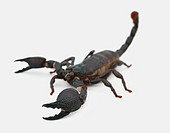 Black scorpion isolated over a white background