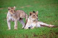 African lions Panthera leo - Young, Kgalagadi Transfrontier Park, Kalahari desert, South Africa