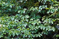 Checker Tree (Sorbus torminalis), Hoz de Beteta Natural Monument, Serrania de Cuenca, Cuenca province, Castilla-La Mancha, Spain