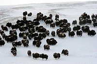 Herd of Muskox Ovibos moschatus Banks Island, North West Territories, Canada