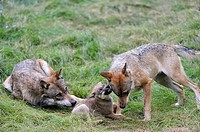 European grey wolf adult playing with a pup aged 2 months old Canis lupus captive, Bayerischerwald National Park, Germany