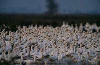 Snow geese, California.