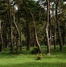 Pinewood, Gotland, Sweden.