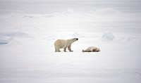 Two polar bears, Spitsbergen, Svalbard, Norway.