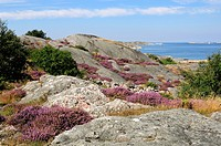 Heather growing on rocks in the archipelago, Sweden.
