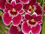 Orchid Miltonia hybr ´Dan Harvey´