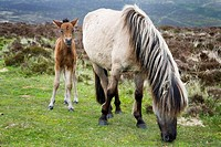 Dartmoor Pony and Foal near Postbridge Devon England