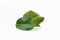 Tea Camellia sinensis leaves