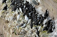 Common Murres / Common Guillemots Uria aalge nesting colony on cliffs at the Fowlsheugh nature reserve, Scotland, UK