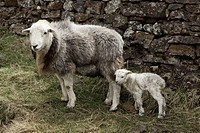 Northumberland, England, A Sheep And A Lamb