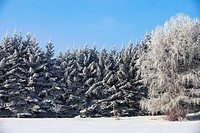 Parkland County, Alberta, Canada, Trees Covered In Snow In Winter