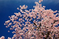 Portland, Oregon, United States Of America, Blossoms On The Trees In Spring In Westmorland Park