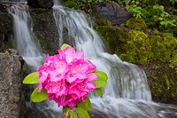 Portland, Oregon, United States Of America, A Rhododendron Flower And A Waterfall In Crystal Springs Rhododendron Garden