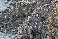 Northern Gannet Morus bassanus colony, nesting on cliff, Bartlet Nab viewpoint, Bempton Cliffs RSPB Reserve, East Yorkshire, England, june