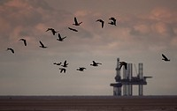 Pink_footed Goose Anser brachyrhynchus flock, in flight, gas rig in distance, Liverpool Bay, Merseyside, England, autumn