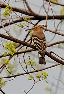 Hoopoe Upupa epops saturata adult, perched on branch, Beidaihe, Hebei, China, may