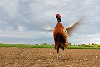 Common Pheasant Phasianus colchicus adult male, displaying in ploughed field, Suffolk, England, may