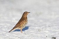 Song Thrush Turdus philomelos adult, standing on snow, Peak District, Derbyshire, England, winter