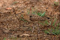 Little Whimbrel Numenius minutus adult, walking on burnt grassland, Beidaihe, Hebei, China, may