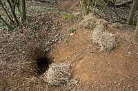 Eurasian Badger Meles meles sett entrance, with discarded bedding, at edge of woodland, Oxfordshire, England, march