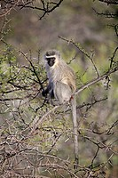 Vervet Monkey Chlorocebus aethiops adult, sitting in thorn tree, Mountain Zebra N P , Eastern Cape, South Africa