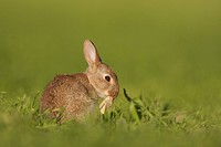 European Rabbit Oryctolagus cuniculus young, grooming, sitting in field, Norfolk, England, june
