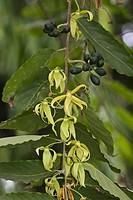 Ylang_ylang Cananga odorata close_up of flowers and seedpods, Palawan Island, Philippines, may