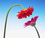 Two gerbera daisies face to face