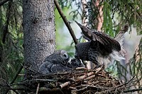 Great grey owl Strix nebulosa pair feeding chicks in nest in boreal forest, Sweden