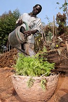 Carrot Daucus carota sativus crop, with farmer watering basket, Rwanda