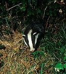 Eurasian Badger Meles meles adult, foraging at night, Devon, England