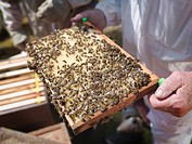Beekeeper inspect honey combs