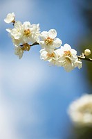 Plum flowers on branch, close up, differential focus