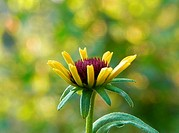 Black eyed Susan flower bud, rudbeckia sp, in the late afternoon garden