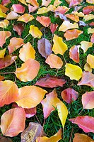 Colorful autumn leaves of red, yellow, and orange scattered on a green grass background