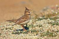 Crested Lark Galerida cristata  Order: Passeriformes Family: Alaudidae.