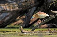 Squacco Heron Ardeola ralloides family : Ardeides order : ciconiiformes.