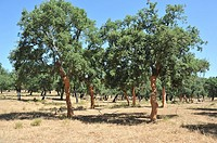 Cork Oaks. Cork oak trees with peeled trunks: Cork Extraction. Los Leones Estate. Puebla de Obando, Badajoz Extremadura. Spain
