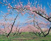 Pink Blossoms on Trees, Yamanashi Prefecture, Japan