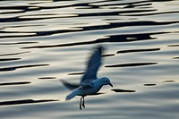 Photograph of a flying seagull in the Lofoten Islands