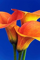 Calla lilies