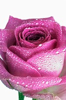 Purple rose (thumbnail)
