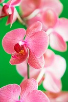 Moth orchid (thumbnail)
